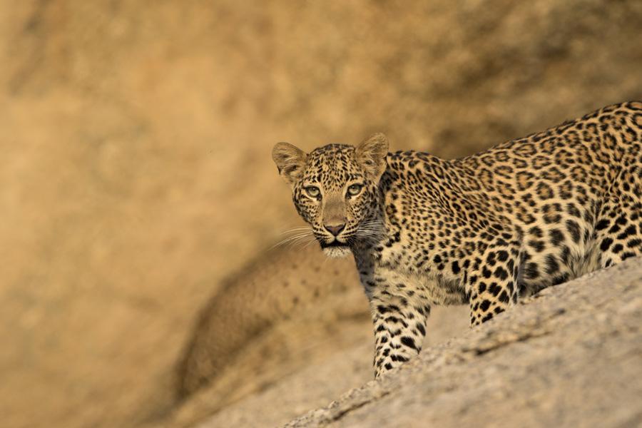 Leopard, Jawai