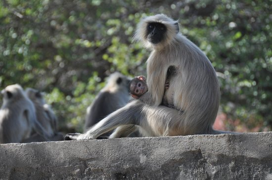 Monkeys--Ranthambore National Park