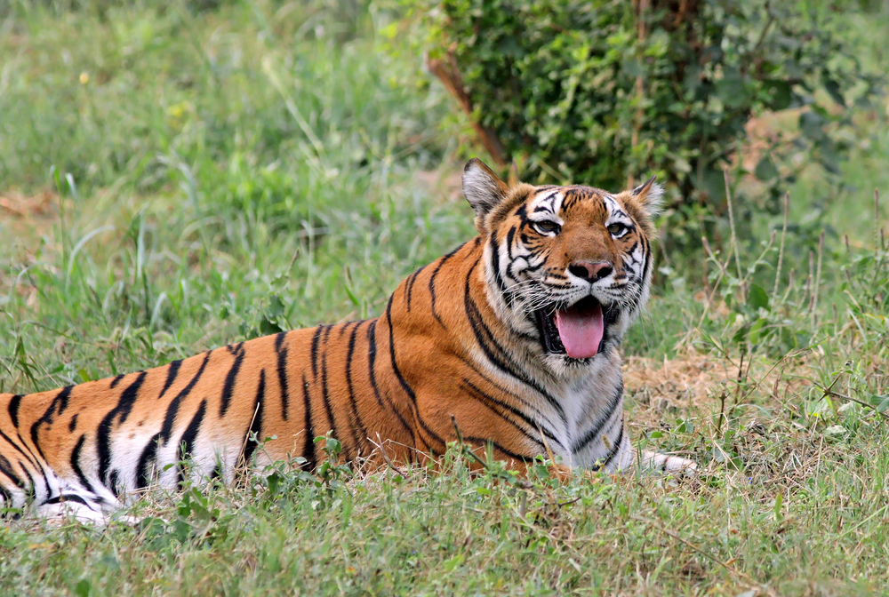 A Royal Bengal Tiger Resting In New Delhi Zoo India