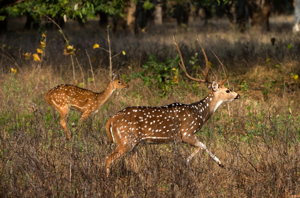 Axis Or Spotted Deer Axis Axis India Kanha National Park