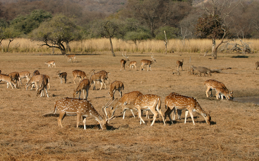 Spotted Deers-Ranthambore National Park