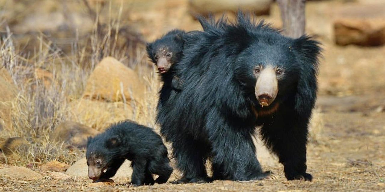 Tigers and Sloth Bears of Central India