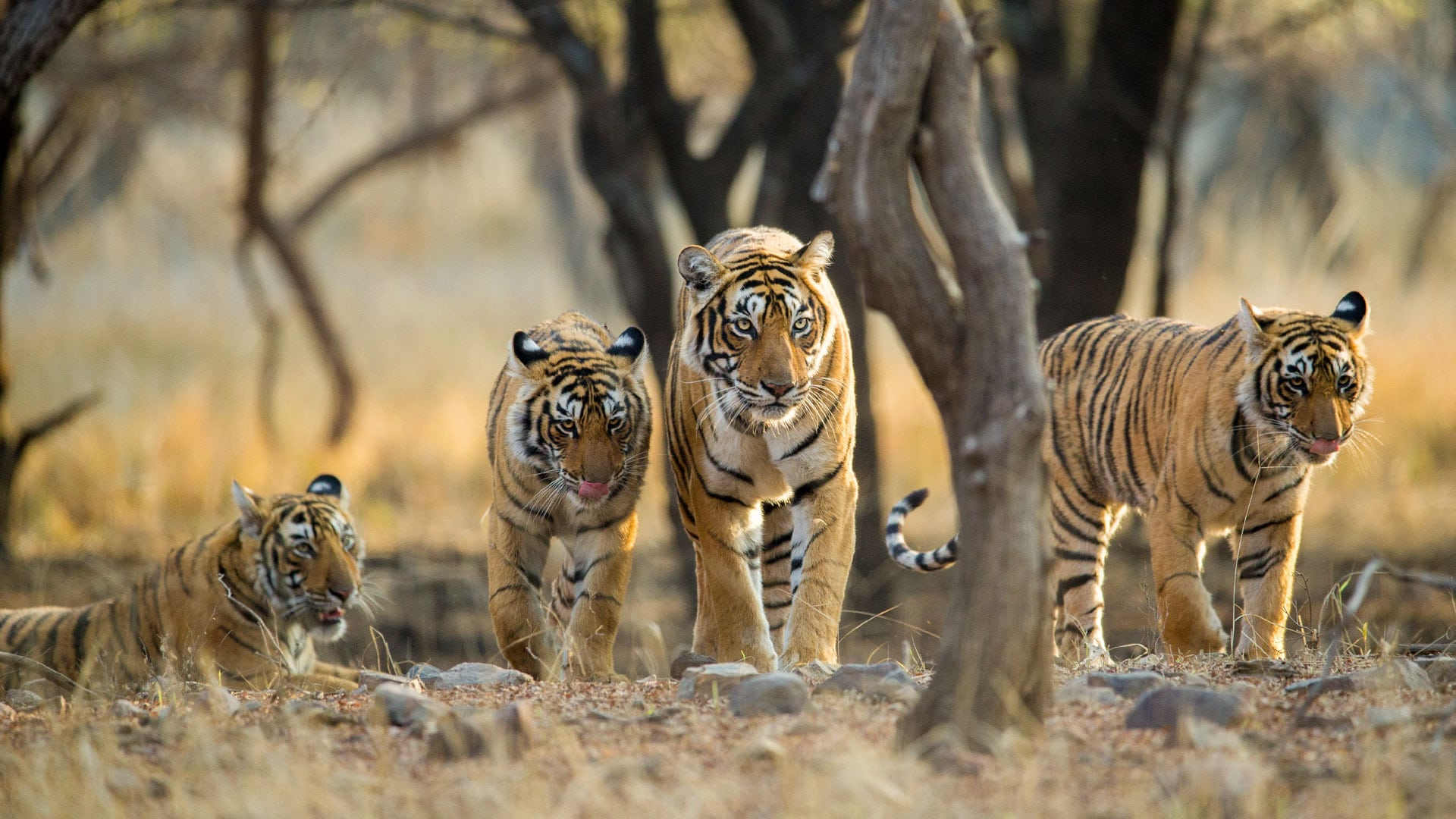Tigers of Central India and the Golden Triangle