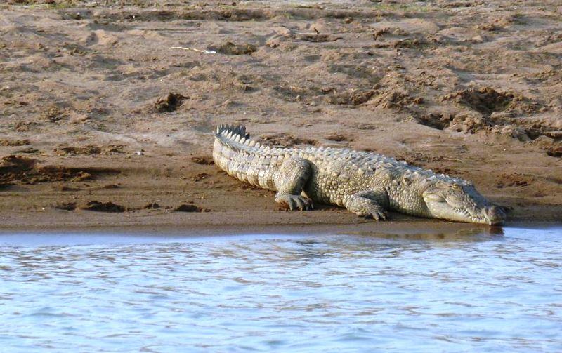 Crocodile, National Chambal Sanctuary