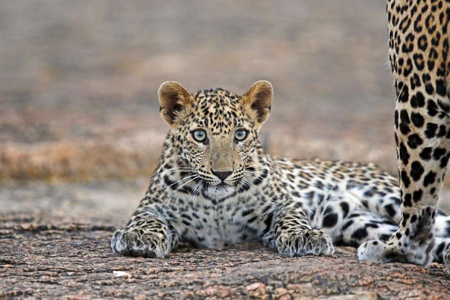 Leopards, Jawai
