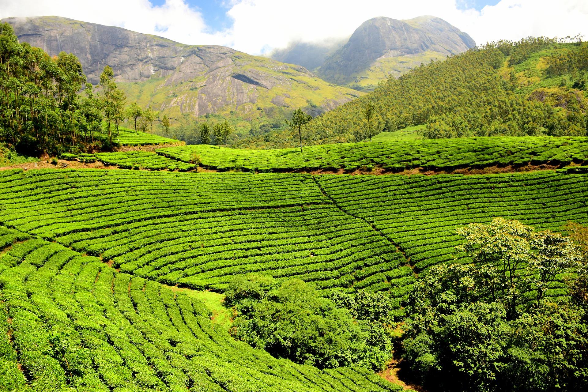 Tea Gardens In Coorg
