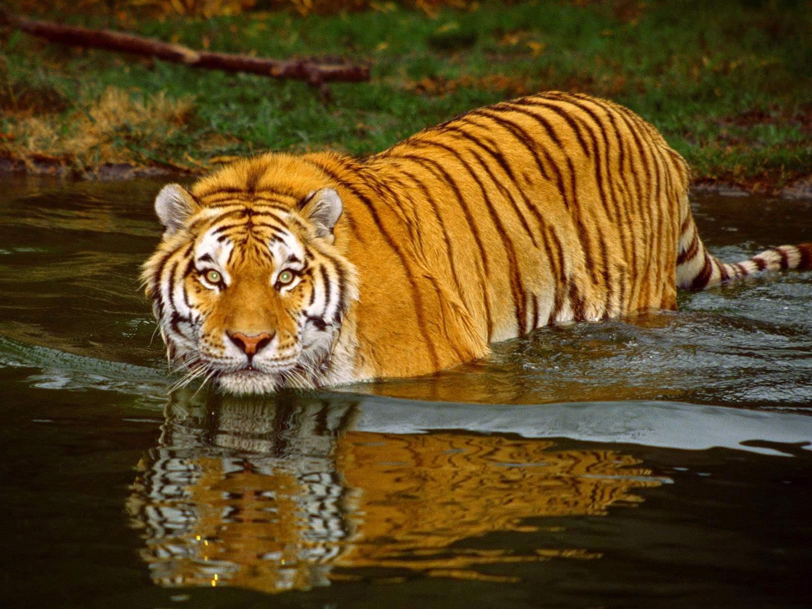 Tigers In Sunderbans