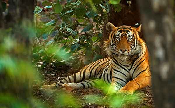 Tigers Of Central India