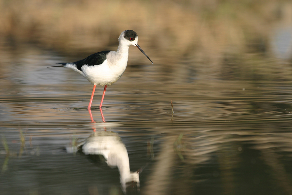 Black Winged Stilt Himantopus Himantopus Keoladeo